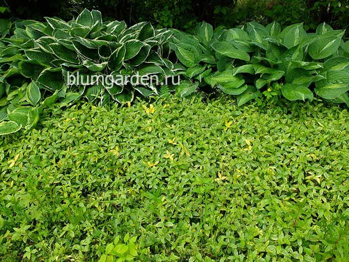 Барвинок малый пестролистный (Vinca minor f. aureovariegata) © blumgarden.ru