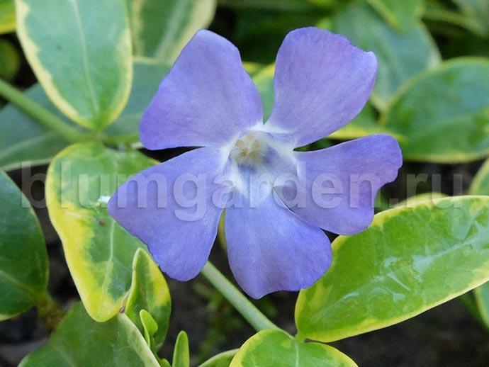 Барвинок малый пестролистный (Vinca Minor F. Aureovariegata)