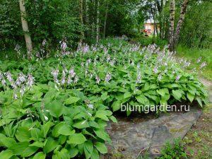 Хосты для озеленения - питомник производитель © Blumgarden.ru