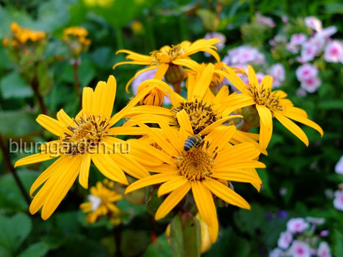 Бузульник (Ligularia) © Blumgarden.ru
