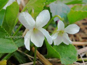 Фиалка душистая белая (Viola Odorata)