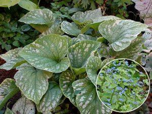 Бруннера крупнолистная «Сильвер Вингс» (Brunnera Macrophylla Silver Wings)