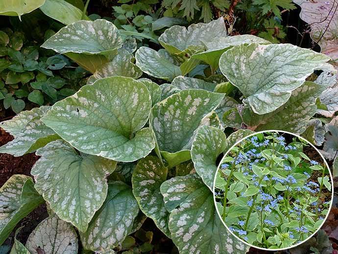 Бруннера крупнолистная «Сильвер Вингс» (Brunnera macrophylla Silver Wings) © blumgarden.ru