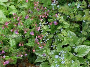 Бруннера Сильвер Вингс и медуница Мери Моттрем © Blumgarden.ru