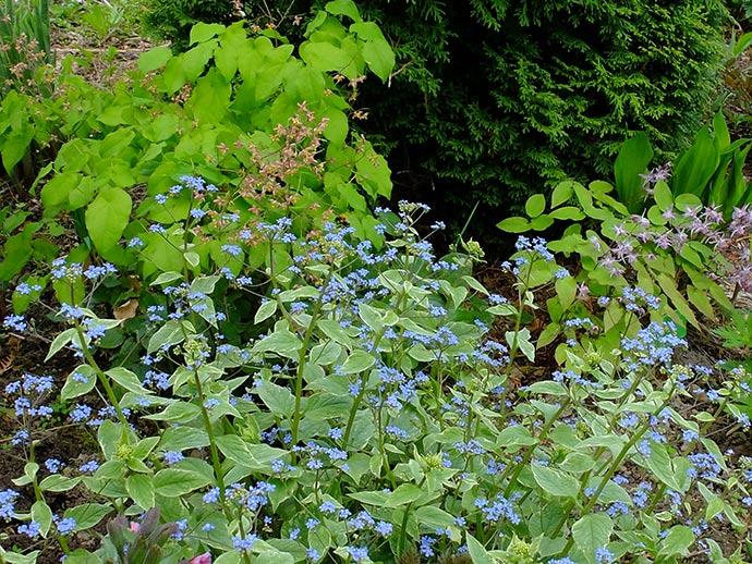 Бруннера «Сильвер Вингс» в саду тенелюбивых растений © blumgarden.ru