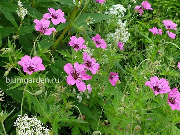Герань садовая Патриция в цветнике © blumgarden.ru