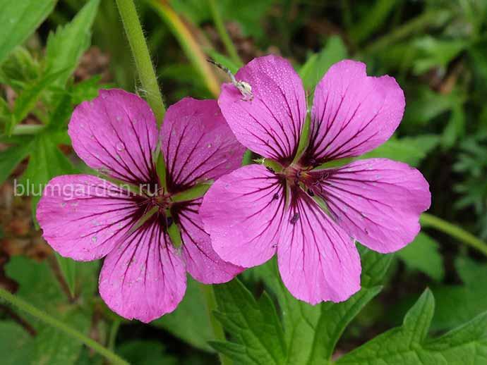 Герань гибридная «Патриция» (Geranium Hybride Patricia)
