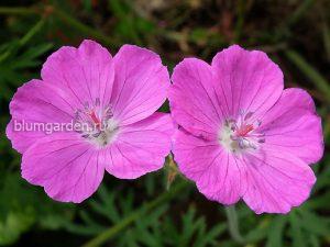 Герань кроваво-красная (Geranium Sanguineum F. Roseum)