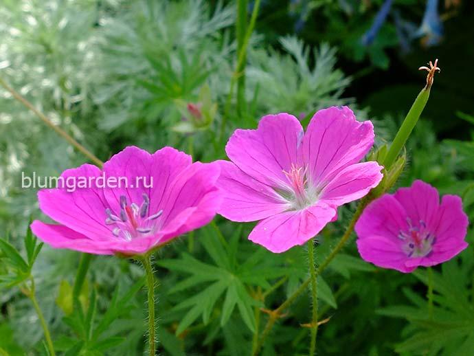 Герань кроваво-красная ярко-розовая © blumgarden.ru