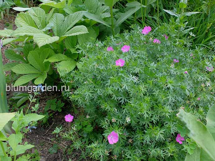 Герань кроваво-красная в саду © blumgarden.ru