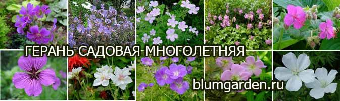 Герань садовая многолетняя, виды, сорта © blumgarden.ru