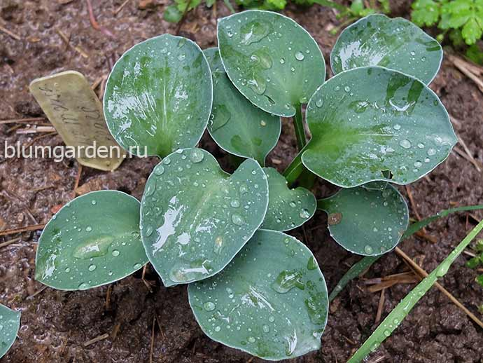 Хоста Блу Маус Иэрз (Hosta Blue Mouse Ears)