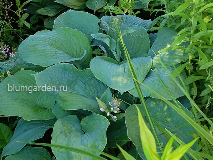 Хоста «Брессингем Блю» (Hosta Bressingham Blue)