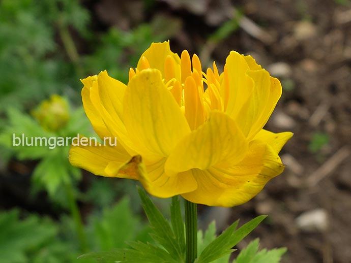 Купальница гибридная (Trollius hybridum) © blumgarden.ru