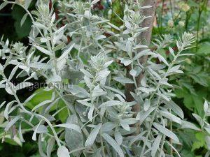 Полынь Людовика (Artemisia Ludoviciana)