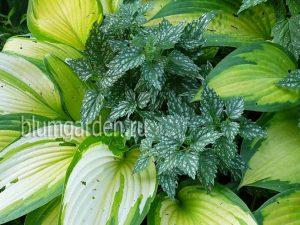 Зеленчук Hermans Pride и хоста в саду © Blumgarden.ru