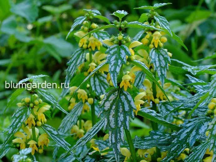 Яснотка зеленчуковая Hermans Pride (Lamiastrum galeobdolon «Херманс Прайд») цветет в саду © blumgarden.ru