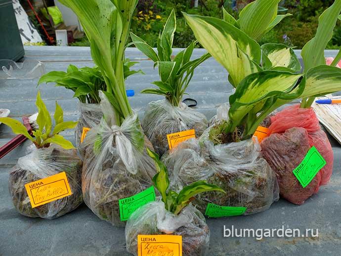 Заказ растений - хосты © blumgarden.ru
