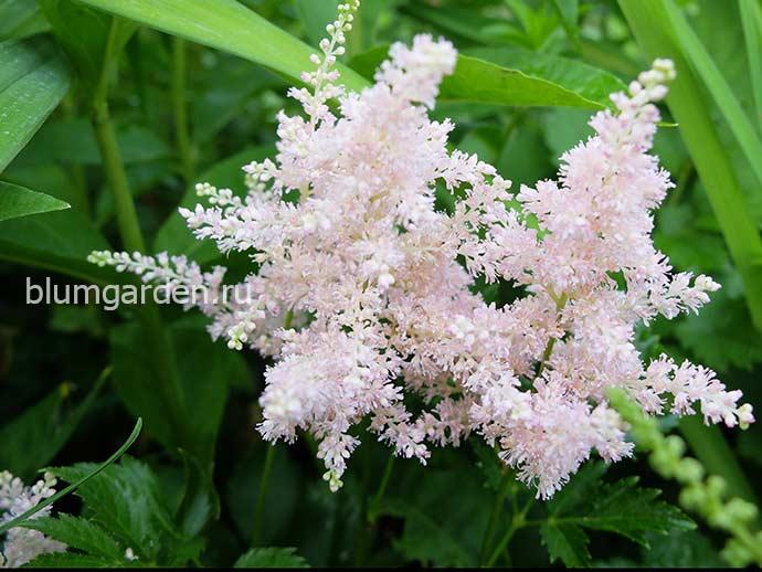 Астильба нежно-розовая © blumgarden.ru