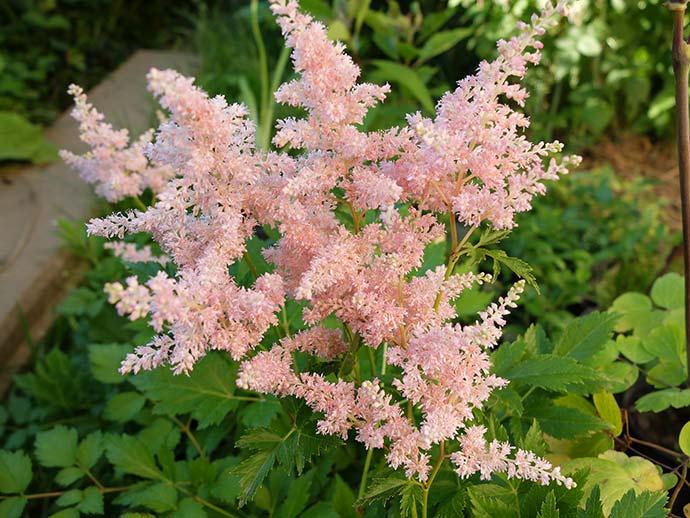 Астильба розовая «Пич Блоссом» Peach Blossom (предположительно)
