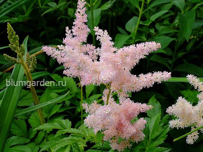 Астильба розовая © blumgarden.ru