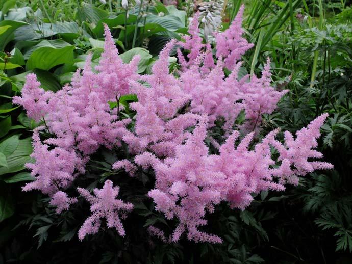Астильба сиренево-розовая