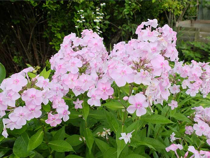 Флокс метельчатый бело-розовый