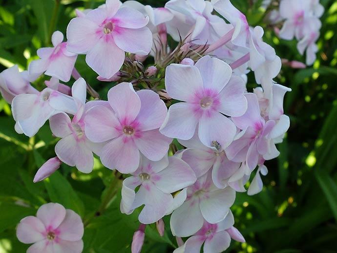 Флокс метельчатый бело-розовый © blumgarden.ru