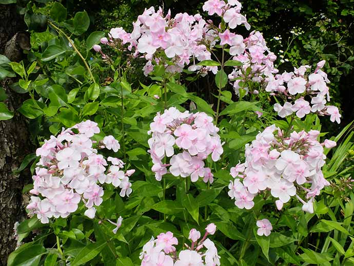 Флокс многолетний бело-розовый © blumgarden.ru