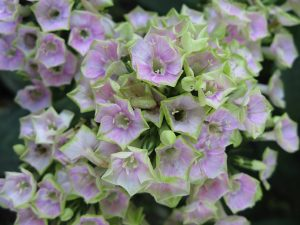 Флокс метельчатый «Болд энд Бьютифул» (Phlox Paniculata Bold And Beautiful)
