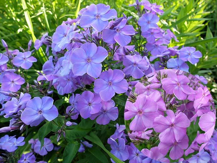 Флокс метельчатый сине-лиловый «хамелеон» © blumgarden.ru