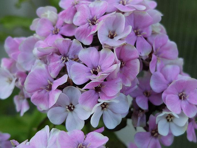 Флокс метельчатый «Щербет Бленд» (Phlox Paniculata Sherbet Blend)
