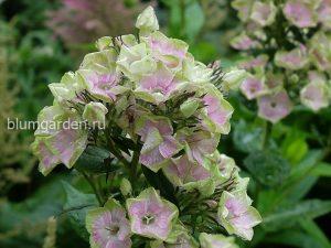 Флокс метельчатый Болд энд Бьютифул (Phlox Paniculata Bold And Beautiful) © Blumgarden.ru