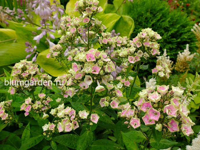 Флокс метельчатый Болд энд Бьютифул (Phlox paniculata Bold and Beautiful) в цветнике © blumgarden.ru