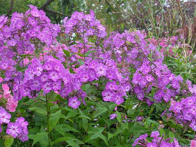 Флокс фиолетовый © blumgarden.ru
