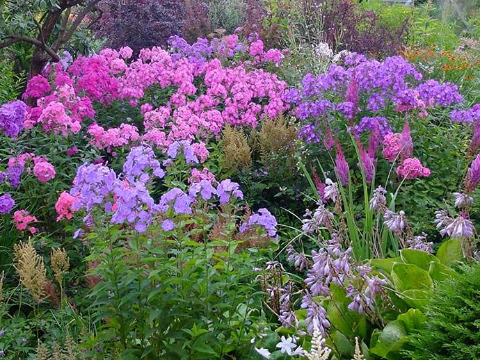 Флокс метельчатый розово-фиолетовый в саду © blumgarden.ru