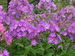 Флокс метельчатый розово-фиолетовый