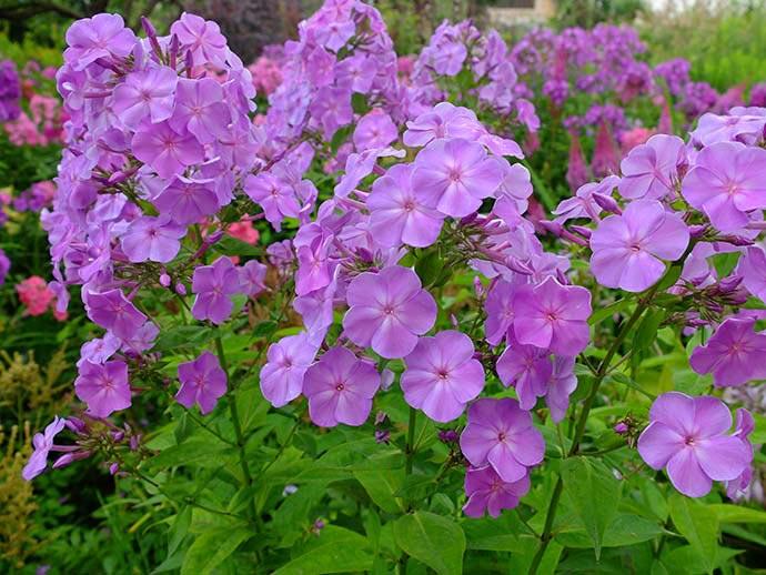 Флокс метельчатый розово-фиолетовый © blumgarden.ru