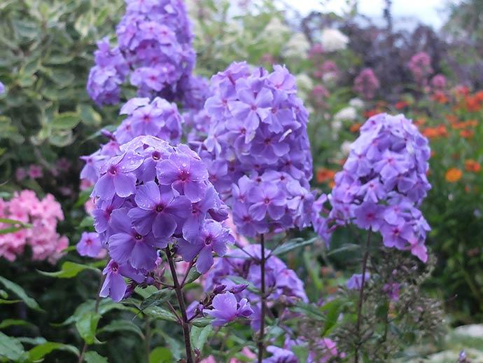 Флокс метельчатый сине-фиолетовый © blumgarden.ru