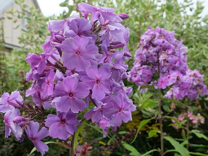 Флокс сине-фиолетовый с лиловым оттенком © blumgarden.ru
