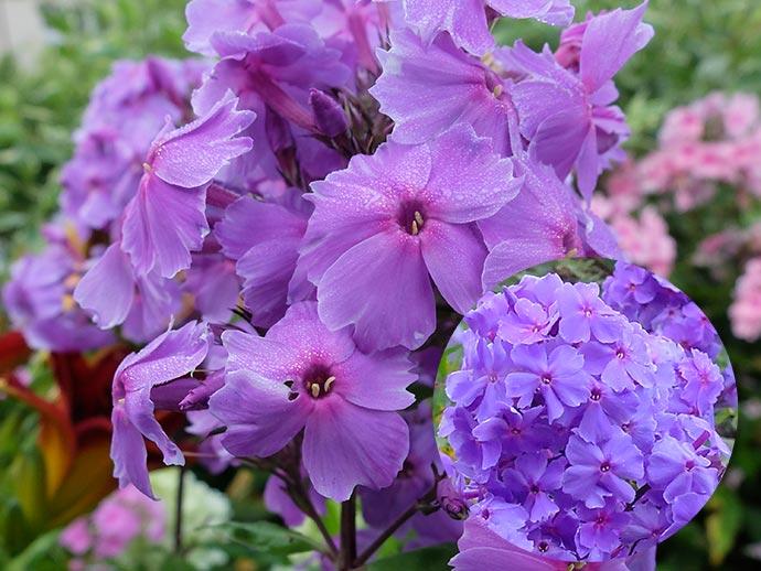 Флокс метельчатый сине-фиолетовый