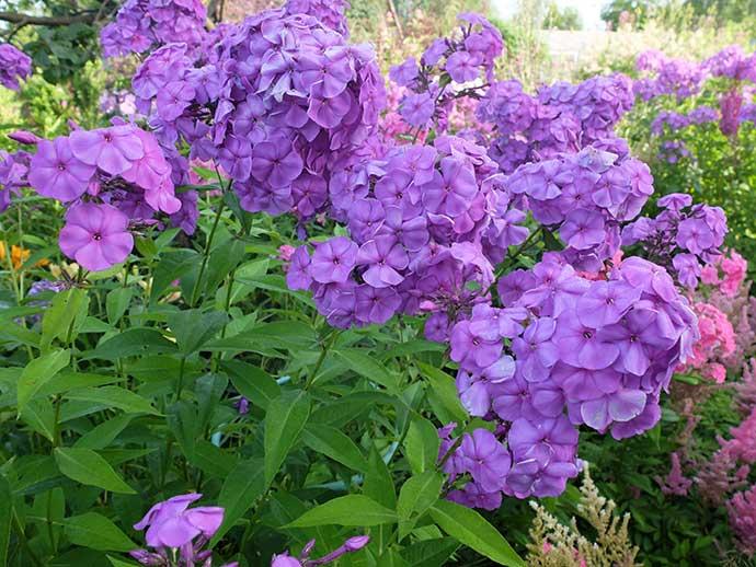 Флокс метельчатый светло-фиолетовый в тени © blumgarden.ru