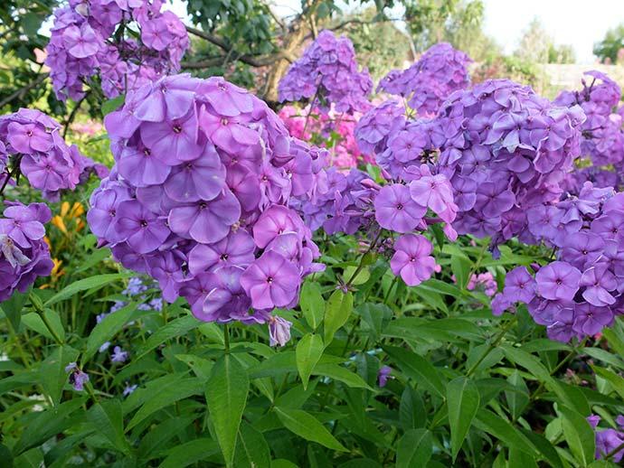 Флокс метельчатый светло-фиолетовый