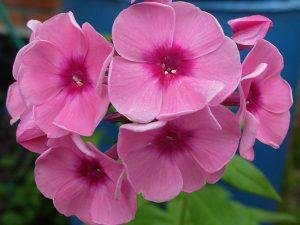 Флокс метельчатый темно-розовый с малиновым центром