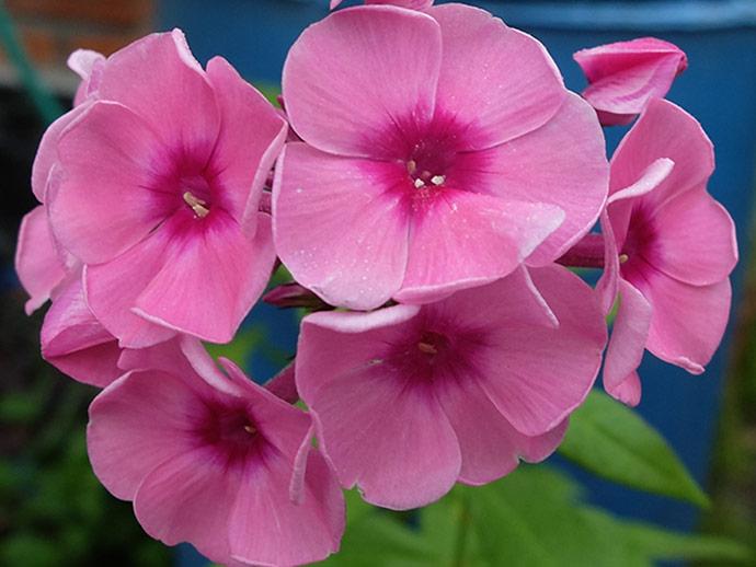 Флокс метельчатый темно-розовый с малиновым центром © blumgarden.ru