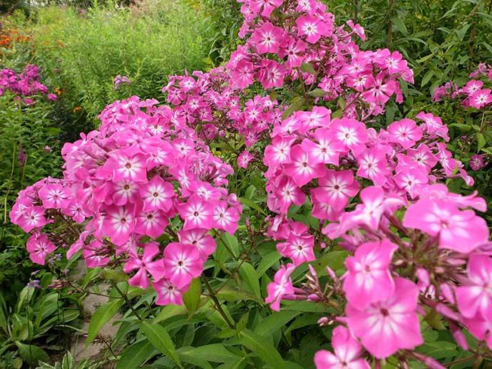 Флокс ярко-розовый с белой серединой © blumgarden.ru