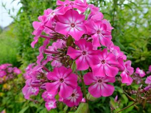 Флокс метельчатый ярко-розовый с белой серединой