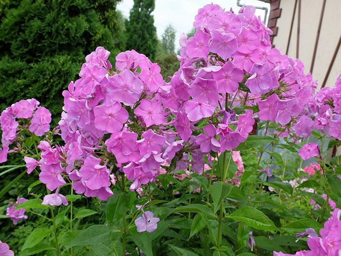 Флокс пурпурный-лиловый © blumgarden.ru