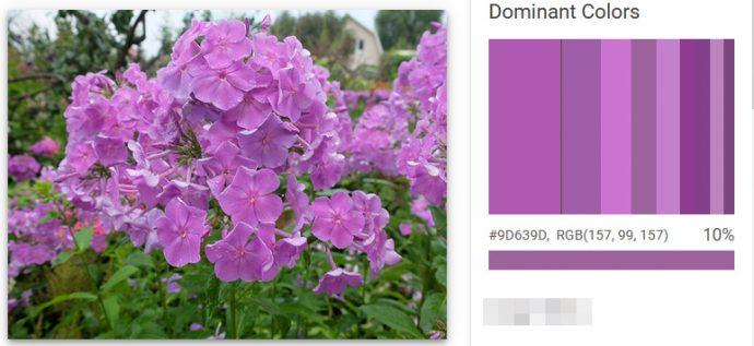 Флокс лиловый доминатные цвета © blumgarden.ru