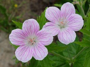 Герань гибридная «Мелинда» (Geranium Hybridum Melinda)